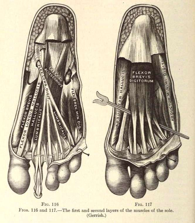 116 amp Fig. 117. The first and second layers of the muscles of the sole. Applie... -Nemfrog