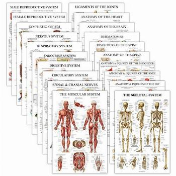 20 Pack - Anatomical Posters - Laminated - Muscular,
