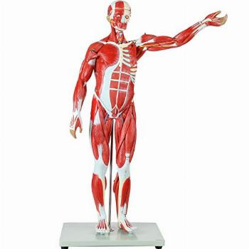 Axis Scientific Human Muscle and Organ Model, 27-Part Half