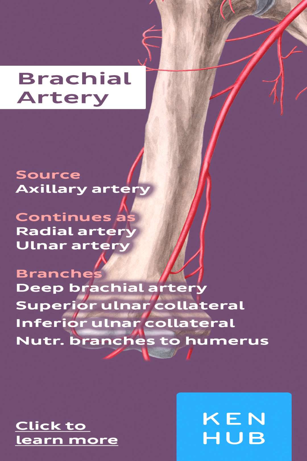 about the of the brachial artery. Pin it! )