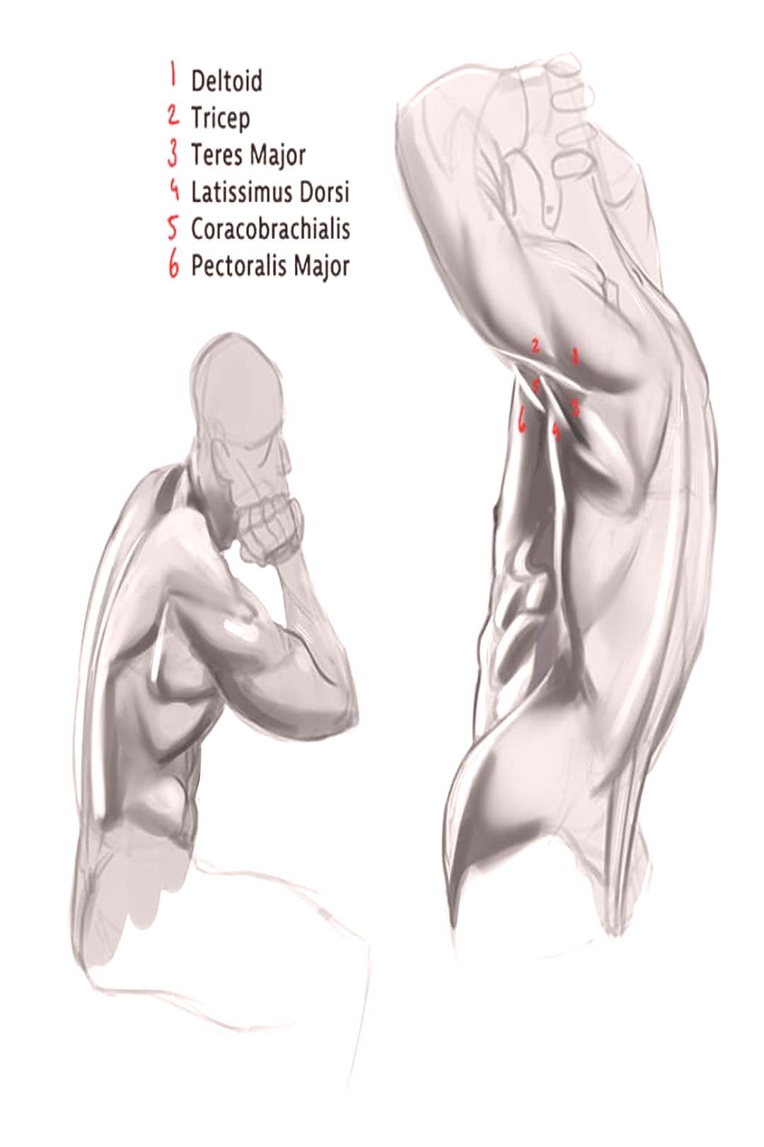 Figuring out that complicated layering of muscles at the shoulder