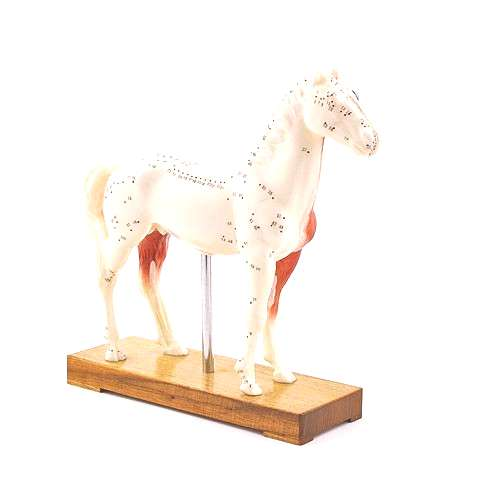 Horse Anatomy amp Acupuncture Model H190075 Pinned by .uk