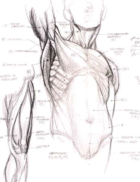 Human anatomy. Good for taking reference.