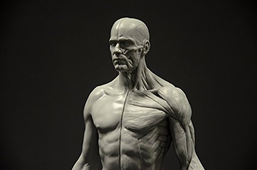 Male Anatomy Figure 11-inch Anatomical Reference for