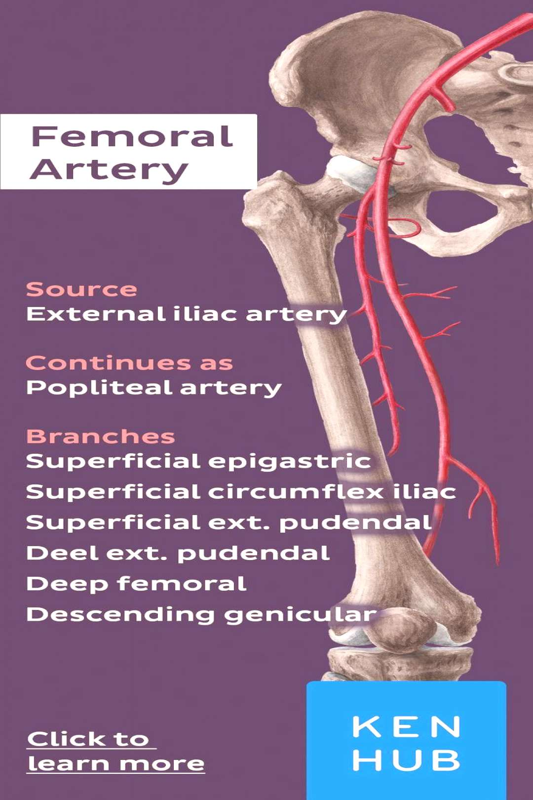 The femoral artery is a continuation of the external iliac artery and constitutes the major blood s