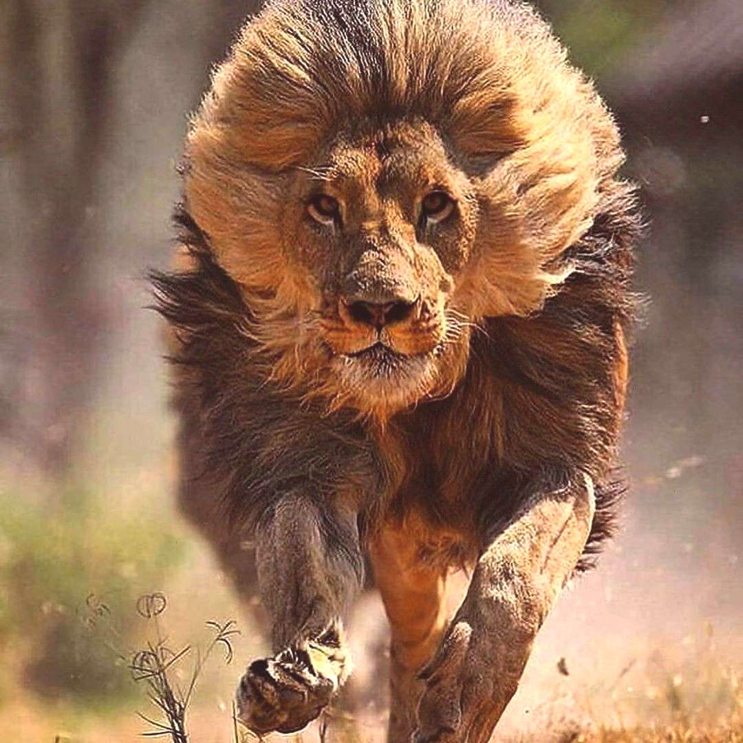 @ture . . . . . Photo @ture . . . . . PicPublic on Twitter quot… quot Hair Blowing Lion Wallpaper -
